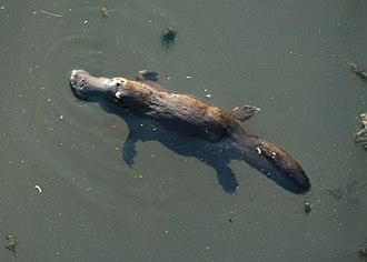 Platypus - Platypus in Broken River, Queensland