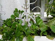 Plectranthus verticillatus wikipedia la enciclopedia libre - Calibrachoa perenne ...