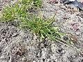 Poa annua (subsp. annua) sl2.jpg