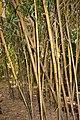 Poales - Bambusa vulgaris - 1.jpg