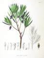 Podocarpus macrophyllus SZ134.png