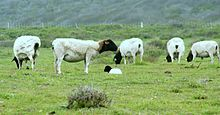 Point Buchon Trail sheep.jpg