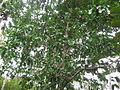 Poison Nut Tree - കാഞ്ഞിരം 02.JPG
