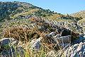 Pollença - Ma-2210 - Ephedra fragilis (Cala Figuera) 01 ies.jpg