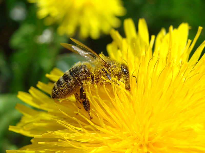 File:Pollination Bee Dandelion.JPG