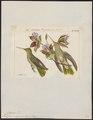 Polytmus chrysurus - 1820-1860 - Print - Iconographia Zoologica - Special Collections University of Amsterdam - UBA01 IZ19100217.tif