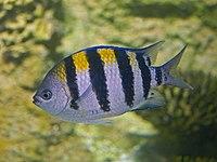 Pomacentridae - Abudefduf troschelii.JPG