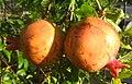 Pomegranate (4872110734).jpg