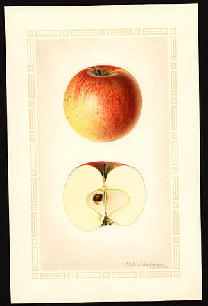 Rambo apple - Image: Pomological Watercolor POM00002880
