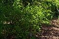 Poncirus trifoliatus, Conservatoire botanique national de Brest 03.jpg