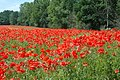 Poppies by the M54 - geograph.org.uk - 673116.jpg