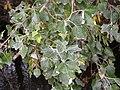 Populus alba (5002311977).jpg