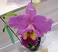 Potinara Li Cheng Star x Brassocattleya Mount Hood -香港沙田國蘭展 Shatin Orchid Show, Hong Kong- (24798682039).jpg