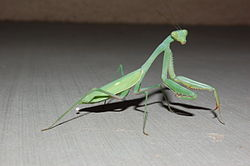 Praying Mantis, Albuquerque NM.JPG