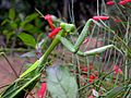 Praying mantis002.JPG