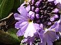 Primula denticulata 'Drumstick primula' (Primulaceae) flowers.jpg