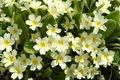 Primula vulgaris-01 (xndr).jpg