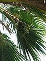 Pritchardia maideniana (5644375460).jpg