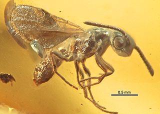 <i>Proceratium eocenicum</i> species of insect