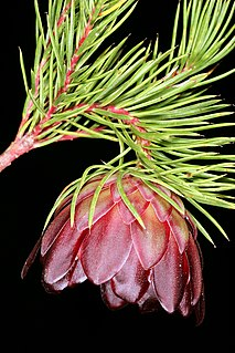 <i>Protea nana</i> Species of flowering plant in the family Proteaceae
