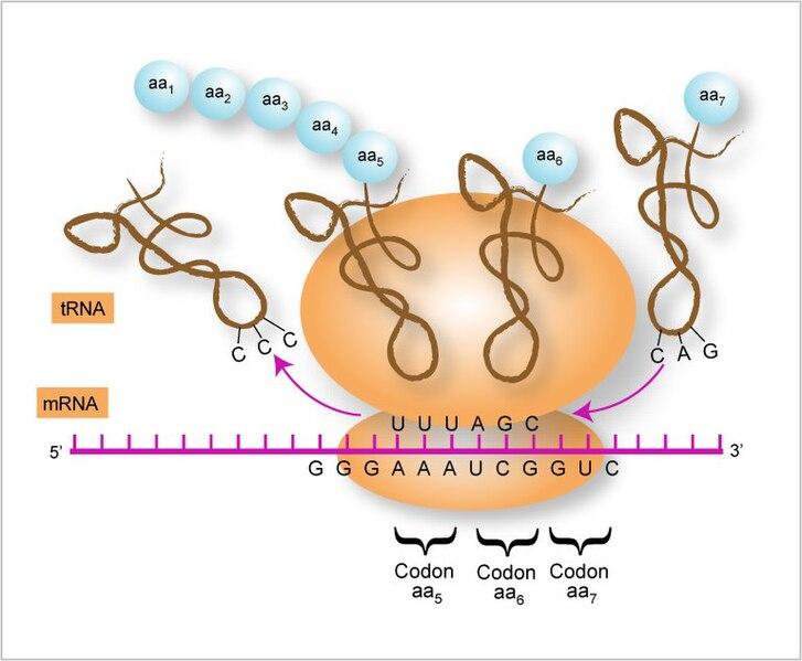 File:Proteintransl.jpg
