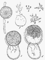 Protomyces macrosporus (De Bary).png