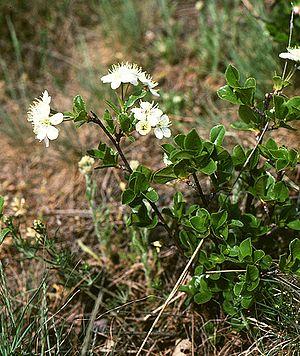 Prunus fruticosa - P. fruticosa flowers