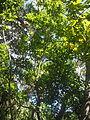 Prunus lusitanica L. ssp. hixa (Willd.) Franco. 01.JPG