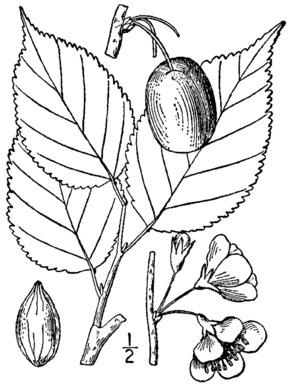 Description de l'image Prunus nigra BB-1913.png.