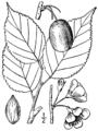 Prunus nigra BB-1913.png