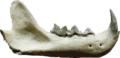 Pseudaelurus teeth.png