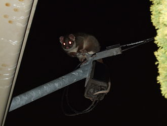 Common ringtail possum - A common ringtail possum perched on a utility pole