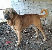 Pshdar Dog-Kurdish Dog-Kurd Mastiff.jpg