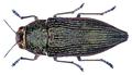 Psiloptera roseocarinata Thomson, 1878.png