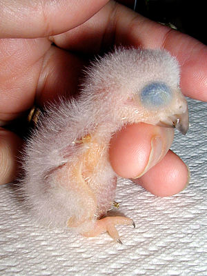 Grey parrot - A one-day old chick of the Congo grey parrot