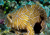 Psychedelic frogfish 08Am7A1b