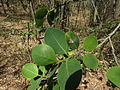 Pterocarpus santalinus 07.JPG