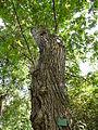 Pterocarya stenoptera-Jardin des plantes 01.JPG