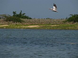 Pulicat Lake - Spot-billed pelican at Pulicat Lake