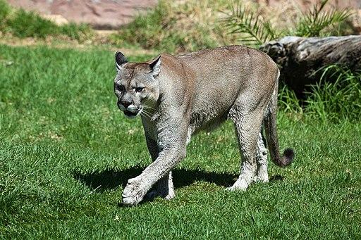 Puma (Puma Concolor, Carnívora Felidae)