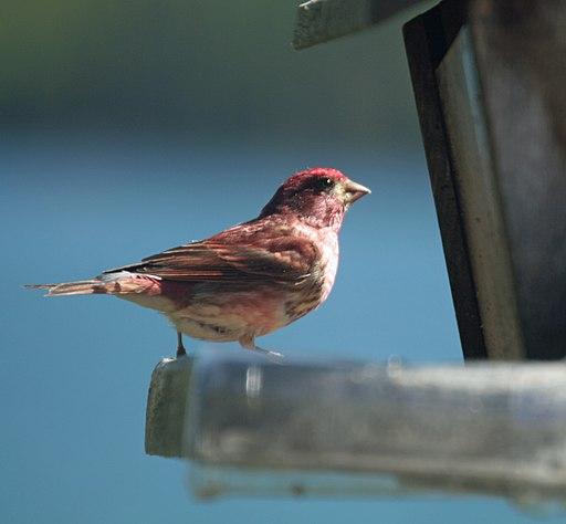 Purple Finch (704032056)