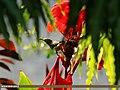 Purple Sunbird (Cinnyris asiaticus) (15894006912).jpg