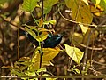 Purple Sunbird (Cinnyris asiaticus) (20585063151).jpg
