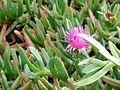 Purple anemone balboa island landscaping.jpg
