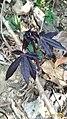 Purple manihot leaves.jpg