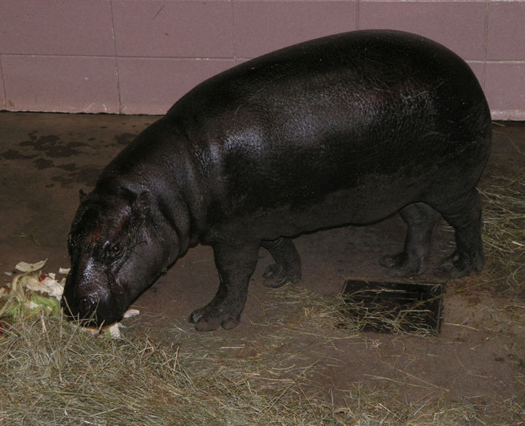 File:Pygmy hippo edinburgh zoo 2004 SMC.jpg