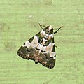 Pyralidae, Epipaschiinae (32918789233).jpg