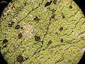 Pyrrhospora quernea - Flickr - pellaea (1).jpg