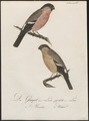 Pyrrhula rubicilla - 1800-1812 - Print - Iconographia Zoologica - Special Collections University of Amsterdam - UBA01 IZ16000317.tif