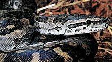 Python sebae (1).jpg